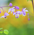 Chinese Meadow Rue by Tim Gainey