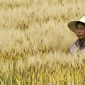 Chinese Rice Farmer by Michele Burgess