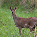Chinese Water Deer by Wendy Cooper