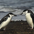 Chinstrap Penguin Duo by Bruce J Robinson