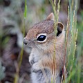 Chipmunk by Alice Kelsey