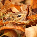 Chipmunk Among The Leaves by Deborah Jackson