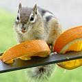 Chipmunk And Oranges 2 by Lynne Miller