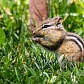 Chipmunk Cutie by Dawna Moore Photography
