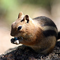 Chipmunk Eating A Piece Of Blue Candy by Wendell Clendennen