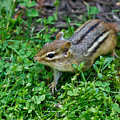 Chipmunk by Edward Myers