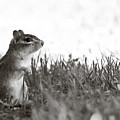 Chipmunk In Black And White by Edward Myers