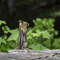 Chipmunk In South Lake Tahoe  by Diego Re