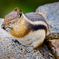 Chipmunk by James O Thompson