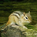 Chipmunk by Peggy King