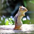 Chipmunk  by PJQandFriends Photography