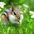 Chipmunk Saving Seeds by Christina Rollo