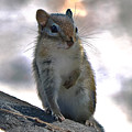 Chipmunk Up Close by Amber D Hathaway Photography