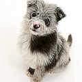 Chipoo Puppy by Mark Taylor