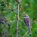 Chipping Sparrow by Bellesouth Studio