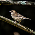 Chipping Sparrow by Bob Orsillo