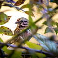 Chipping Sparrow In The Brush by Bob Orsillo
