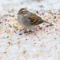 Chipping Sparrow by Melinda Fawver