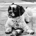 Sambucca And His Toy Bw by Kristia Adams
