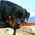 Chiron The Rottweiler  by Gregory E Dean
