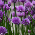 Chives by Clare Bambers