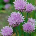 Chives Flowers by Nancy Trevorrow