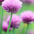 Chives by Neil Overy