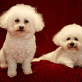 Chloe And Jolie The Bichon Frises by Michael Ledray