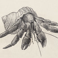 Chocolate Hermit Crab by Judith Kunzle