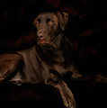Chocolate Lab Dog by Christine Till