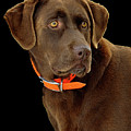 Chocolate Lab by William Jobes