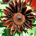 Chocolate Sunflower by 'REA' Gallery