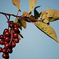 Choke Cherry by Randy Bodkins