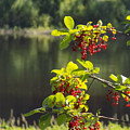 Chokecherries With River Bokeh by William Tasker