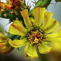 Cholla Flower H1848 by Mark Myhaver