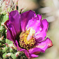 Cholla Flower by Steven Natanson