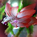 Christmas Cactus by Ericamaxine Price