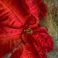 Christmas Flower by Judy Hall-Folde