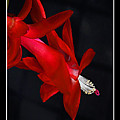 Christmas Flower by Rich Despins
