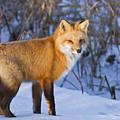 Christmas Fox by Mircea Costina Photography