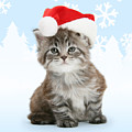 Christmas Maine Coon Kitten by Warren Photographic