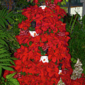 Christmas Poinsettia Display 002 by George Bostian
