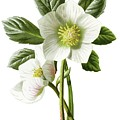 Christmas Rose Floral Illustration by Mark Carlson