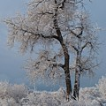 Christmas Snow And Frost Covered Tree by Cascade Colors