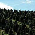 Christmas Tree Farm by Grace Dillon