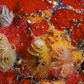 Christmas Tree Worms, Bonaire by Terry Moore