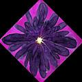 Chrysanthemum 2 by Joanna White