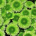 Chrysanthemum Green Button Pompon Kermit by Kaye Menner