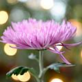 Chrysanthemum Happiness by Olga Hamilton