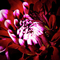 Chrysanthemum In Bloom by David Patterson